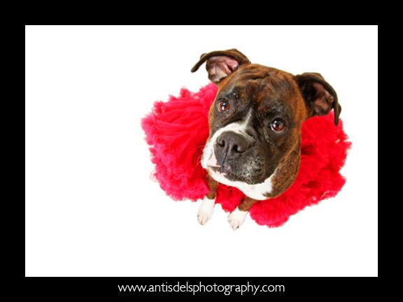 Fancydog3